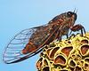 Tiny cicada, Victoria