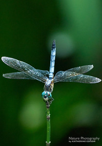 Little Blue Dragonlet Dragonfly