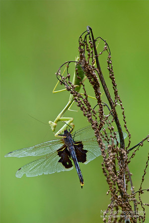 Praying Mantis and Dragonfly