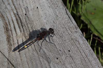 Large Whitefaced Darter - Suur rabakiil
