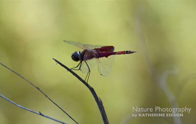 Red Saddlebags Dragonfly