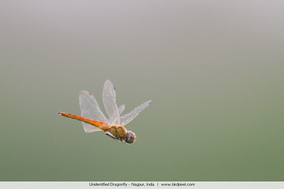 Unidentified Dragonfly - Nagpur, India