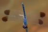 Diplacodes nebulosa (male).  Kakadu NP