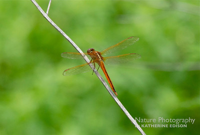 Golden Winged Skimmer