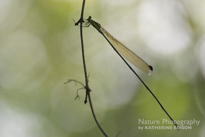 Giant Helicopter Damselfly