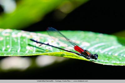 Unidentified Damselfly - Cartago, Costa Rica