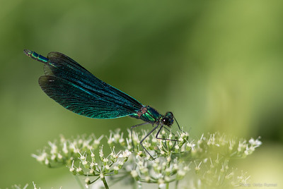 Beautiful Damoiselle, Calopteryx virgo