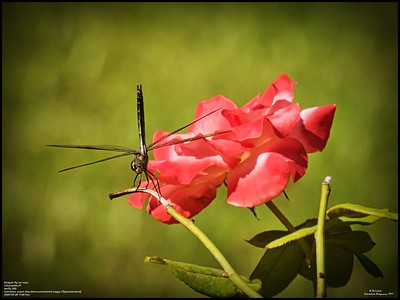P9260179_dragonfly on rose