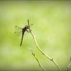 2017-08-25_P8253026c_Dragonfly,Clwtr