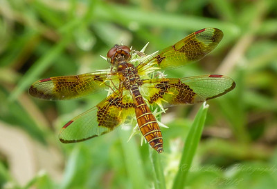 2017-10-13_P1110100_  Dragonfly