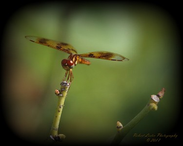 2017-09-01_P9013945_6_7_Natural Low Key_Dragonfly,Clwtrcc