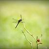 2017-08-25_P8253035c_Dragonfly,Clwtr