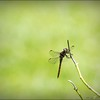 2017-08-25_P8253025c_Dragonfly,Clwtr