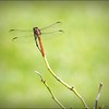 2017-08-25_P8253024c_Dragonfly,Clwtr