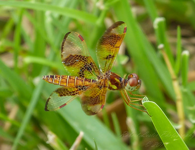 2017-10-13_P1110082_  Dragonfly