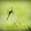 2017-08-25_P8253034c_Dragonfly,Clwtr