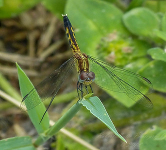 2017-10-13_P1110095_  Dragonfly