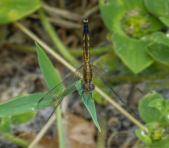 2017-10-13_P1110089_  Dragonfly