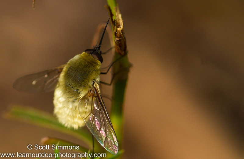 Systoechus Beefly