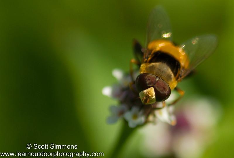 Hoverfly (Palpada pusilla)