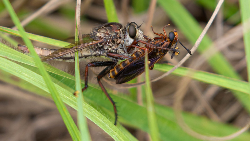 Proctacanthus Robberfly with Mydas Fly
