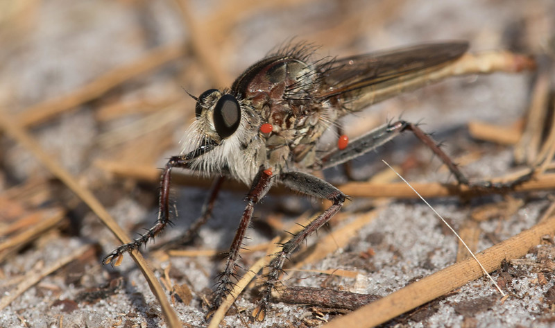 Proctacanthus brevipennis