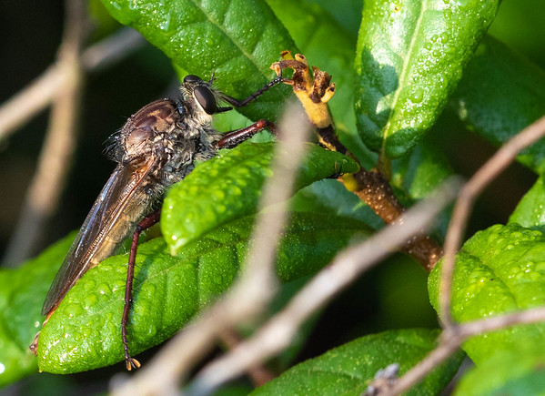 Proctacanthus Robberfly