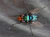 Snail Parasytic Blowfly.