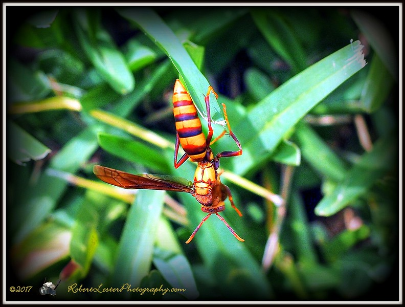 2017-06-02_P6020030_yellow hornet,clwtr_2 - Hint