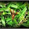 2017-06-02_P6020026_yellow hornet,clwtr_2 - Hint