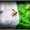 2017-06-02_P6020005_yellow hornet,clwtr_2 - Hint