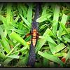 2017-06-02_P6020014_yellow hornet,clwtr_2 - Hint