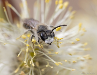 Andrena ventralis