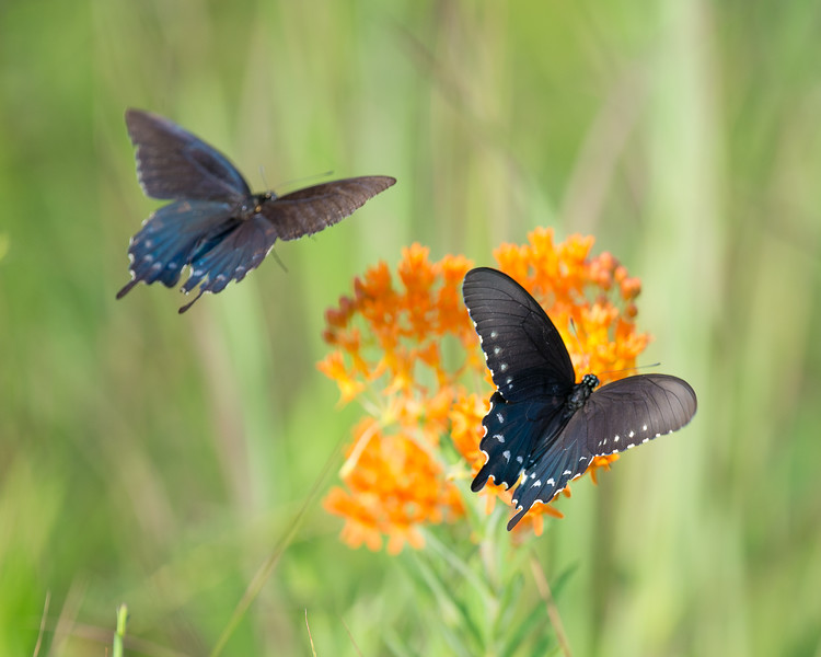 Pipevine Swallowtails on Butterfly Weed