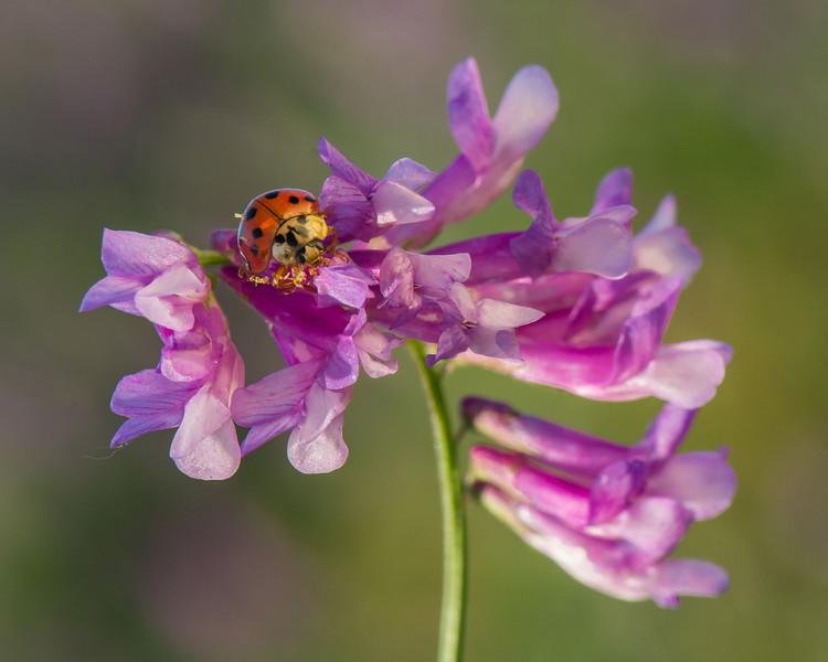 Ladybug On Vetch