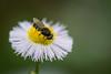Fly on Daisy Fleabaine