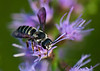 Bee With Purple Wings