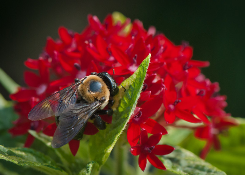 Bumble Bee on Red Flowers