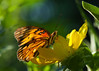 Gulf Fritillary profile on Rosinweed
