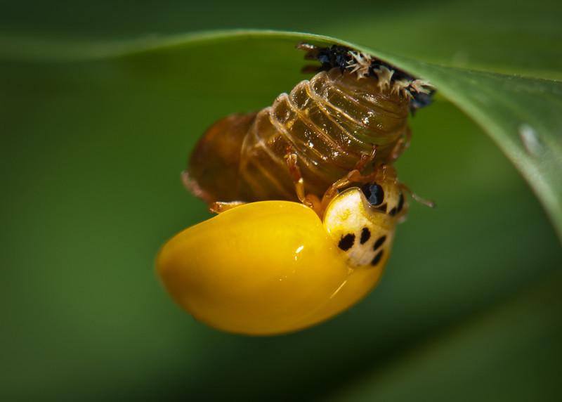 Ladybug Emerging From Larva.