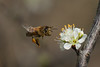 Bee Approaching Pear Blossom