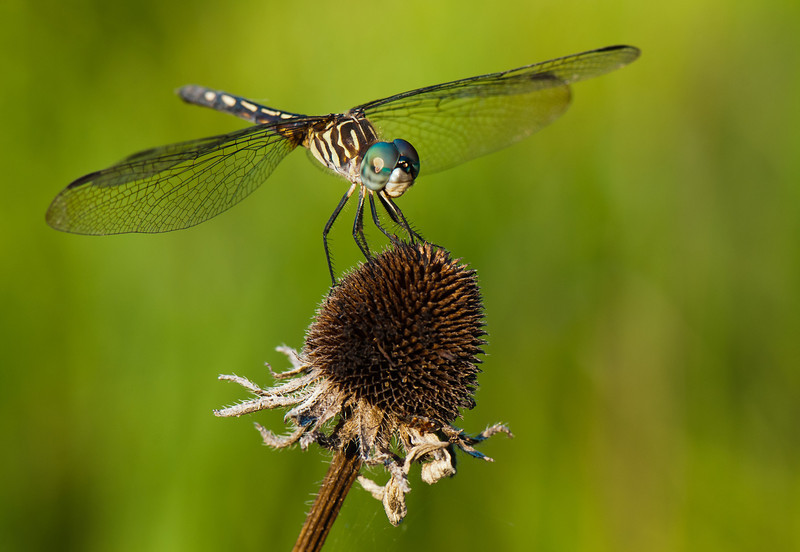 Dragonfly on a Dried Wildflower