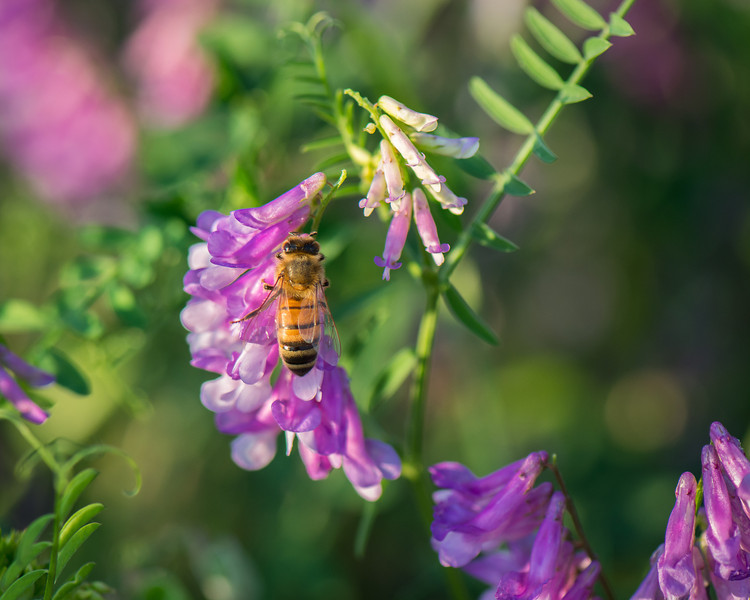 Honey Bee On Vetch