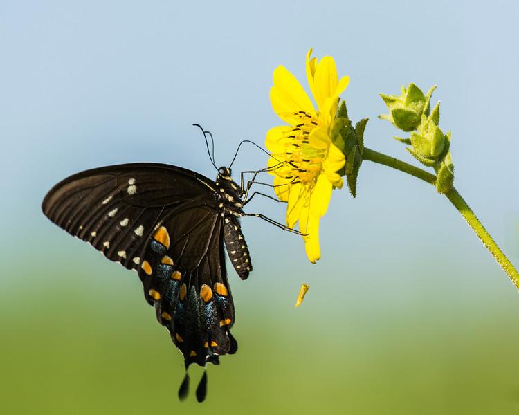 Black Swallowtail on Prairie Dock