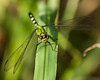 Green Dragonfly - 2