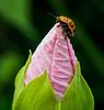 Lady Bug on a Wild Morning glory Bud