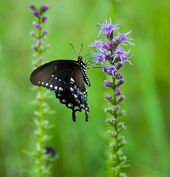 Butterfly on Blazing Star