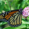 A Beautiful Butterfly sit atop a Flower