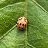 Ladybug Pupa - Hippodamia convergens