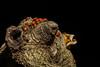 Ladybugs - Henry Cowell State Park, Felton, CA, USA